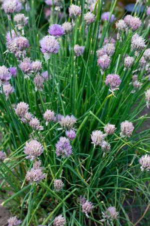 tuberosum: Plenty of Allium tuberosum, chives flower, in a garden Stock Photo