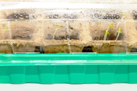 germinate: The sprouts germinate (seeds of tomato, pepper, eggplant), isolation Stock Photo