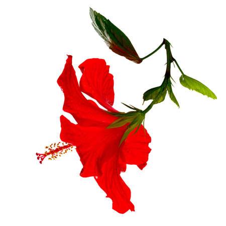 hibiscus: hibisco rojo con gotas de rocío sobre un fondo blanco Foto de archivo