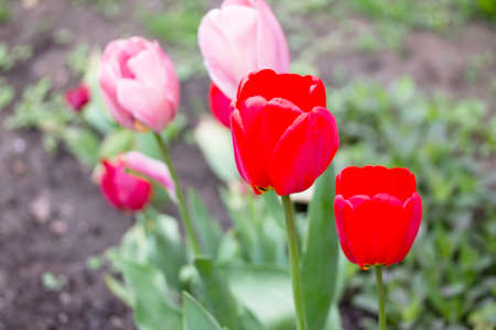 floristics: Two flowers of pink and red tulips flowering in spring garden.
