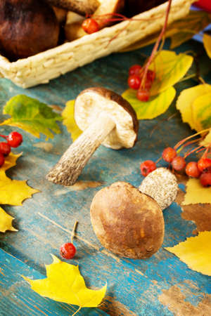 Picking mushrooms from a brown hat, autumn leaves of birch and maple. Autumn background.