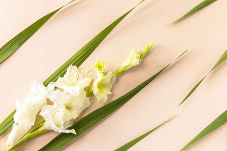 Creative layout made of blooming white bud gladiolus against plain beige background. Minimal flowers background. Top view flat lay.