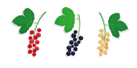 Set of different kinds of currant with leaves. Red, black and white currant icons on the white background. Vector illustration.