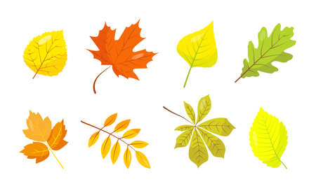 Set of autumn leaves on white background. Vector illustration. Bright autumn elements.