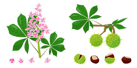 Chestnuts collection. Leaves, flowers, peel and seeds of chestnut. Vector illustration on white background.