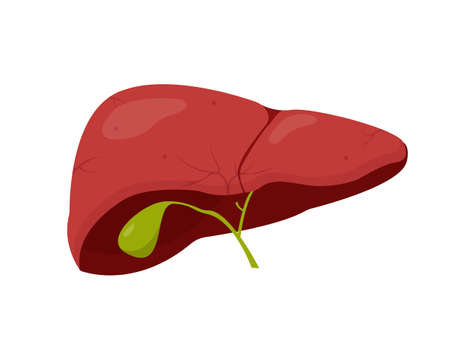 Human healthy liver isolated on white background. Medical or education concept. Human organ icon. Vector illustration. Illustration