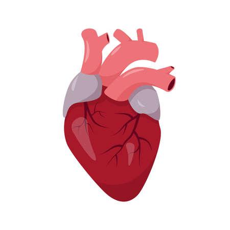 Human heart anatomy on white background. Human organ icon. Vector illustration.