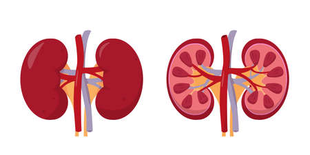 Human kidneys anatomy inside and outside.  イラスト・ベクター素材