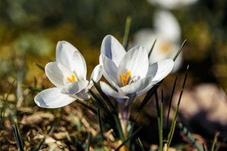 lovely white crocuses bloomed in early spring