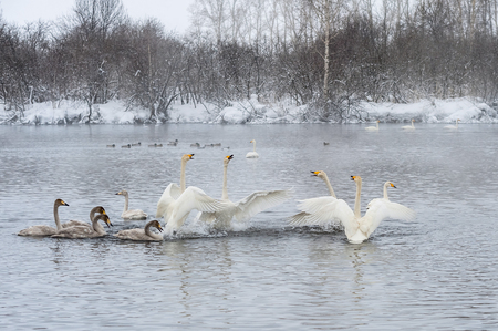 flaps: A flock of white swans flaps its wings in the winter pond Stock Photo