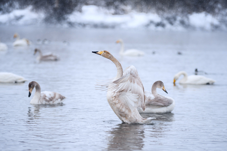 wintery day: Gray swan flaps its wings on the pond