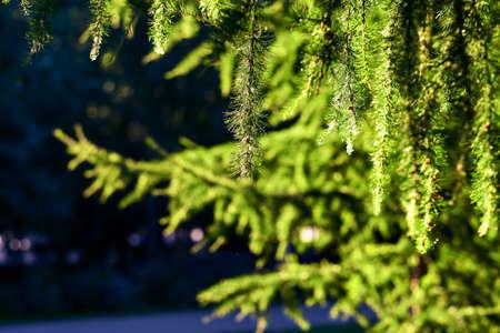 Branch of a coniferous tree fir. Green Background.
