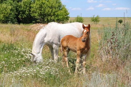 White horse with foal grazing in field Stok Fotoğraf