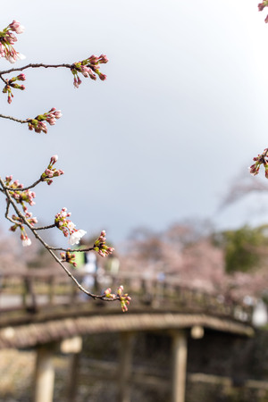 background with old bridge in Kyoto and blooming Sakura, day, april, people walk