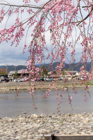 Beautiful trees in the Park of Japan blossoming Sakura, april, kioto 写真素材