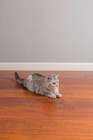 Kitten Scottish Straight play on the floor, neutral background