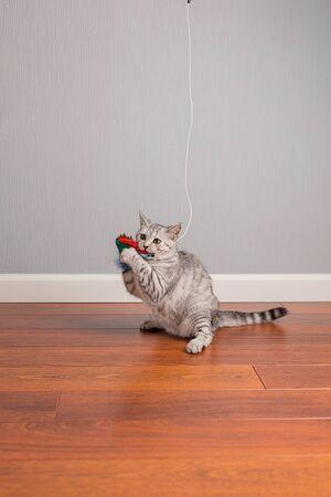 Kitten Scottish Straight play on the floor, hunting, neutral background