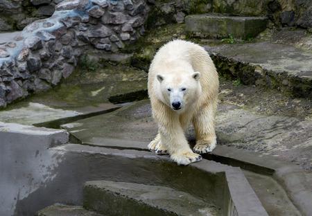 feet crossed: big white polar bear standing fore feet crossed Stock Photo