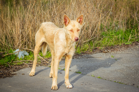 feral: Feral hungry stray dog standing on the road
