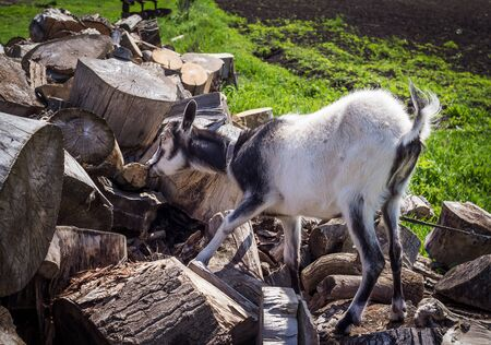 nibbling: black and white young hornless domestic goat nibbling dry bark from cut tree trunks at farm
