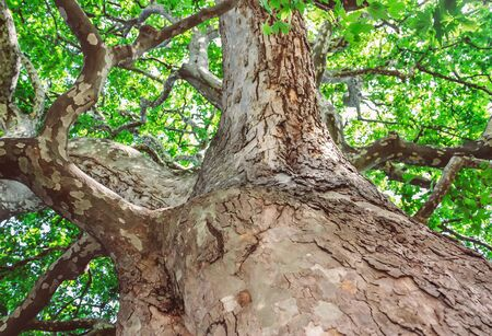 sycamore leaf: Peeling trunk and massive branches of old sycamore tree Stock Photo