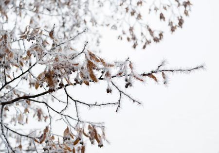 linden blossom: Linden tree branch with dry blossom clusters covered by frost crystals, cold winter weather