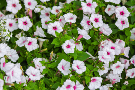 Flowerbed With Beautiful White Petunia With Bright Pink Center ...