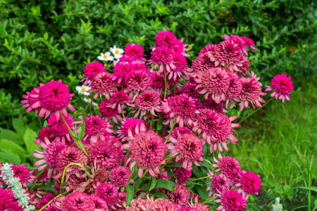 Blooming beautiful pink decorative Echinacea flowers or coneflower in the garden, aster family, a hybrid plant called Southern Belle