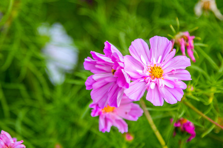 Beautiful pink decorative cosmos flowers in the garden, hybrid cosmos bipinnatus called Double Click
