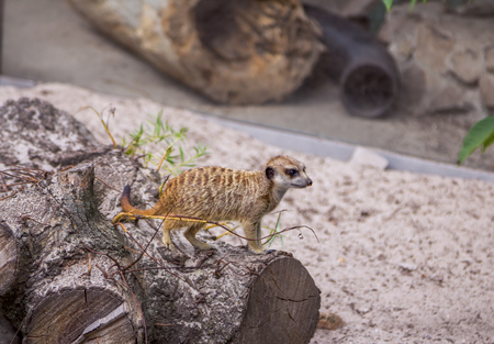 burrowing: Small meerkat standing on a cut wooden trunk Stock Photo