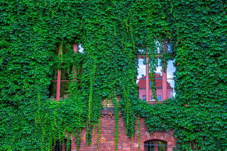 View of brick house facade with wall and windows, covered by overgrown creeper plant