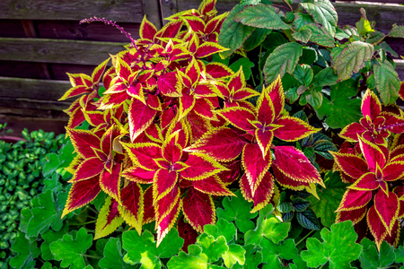 Beautiful coleus plant or Painted nettle with bright red and yellow leaves, growing in the garden