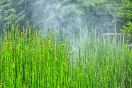 View of Equisetum hyemale, known as rough horsetail plant being irrigated in a city park Stock Photo