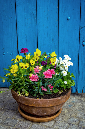Beautiful colorful flowers in a flowerbed - yellow viola tricolor, white English daisy and pink carnation Stock Photo