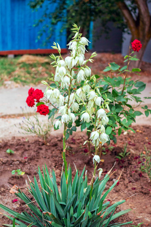 Yucca gloriosa. Spanish dagger. Blooming evergreen succulent with white flowers, growing in the garden. Stock Photo