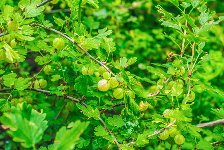 Gooseberry bush branches with ripe berries and green leaves, growing in the garden. Summer harvest. Archivio Fotografico