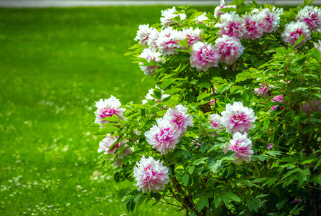Green lawn and blooming tree peonies - Paeonia suffruticosa - shrubs with colorful white and pink flowers