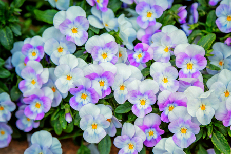 Beautiful colorful purple, white and yellow viola tricolor spring flowers growing in a garden. Stock Photo