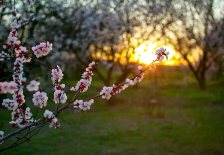 Beautiful blooming apricot tree branch with white flowers growing in a garden on sunset. Spring nature. Stok Fotoğraf - 132098703