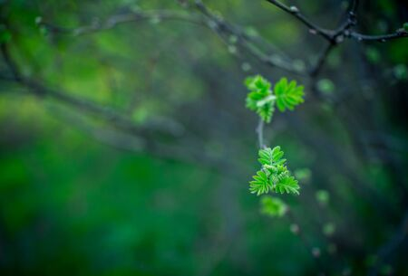 First green leaves on a tree branch in a spring forest. Natural background. Selective focus. Stock fotó