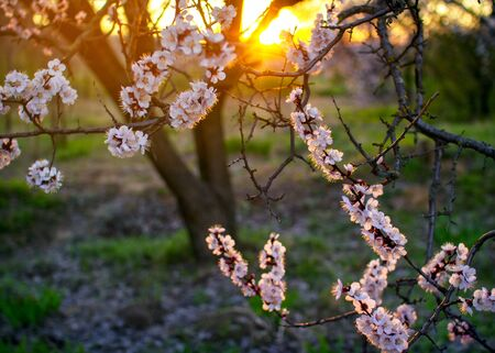 Beautiful blooming apricot tree branch with white flowers growing in a garden on sunset. Spring nature. Stok Fotoğraf - 132098716