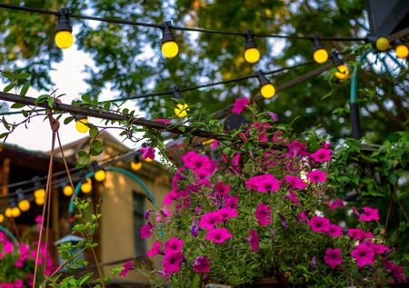 House Yard Decorated With Fresh Blooming Pink Petunia Flowers
