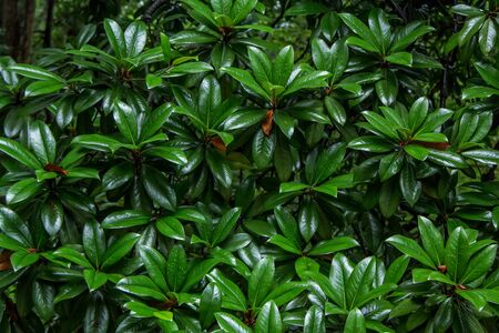 Natural background with Pittosporum Tobira lush foliage with water drops on green leaves after rain