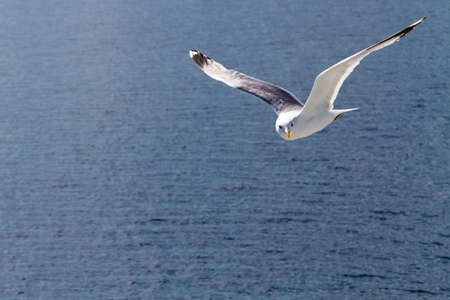 karelia: Flying seagull, the White Sea, Karelia. Stock Photo