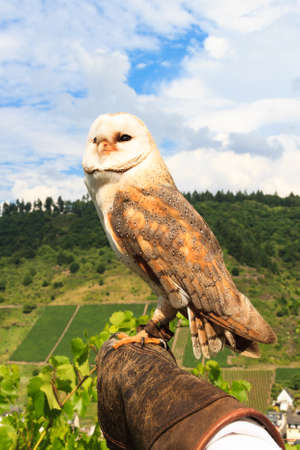 wildanimal: Falconry at Cochem Castle, Germany Stock Photo