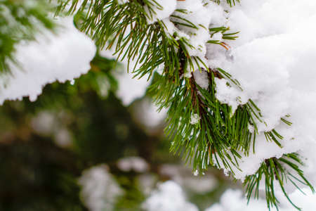 Snow-covered fir branch in the winter forest