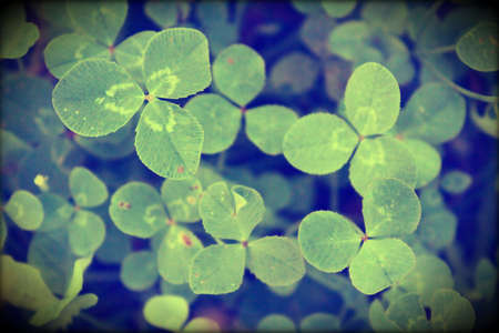 talisman: clover, for luck, field for happiness, talisman