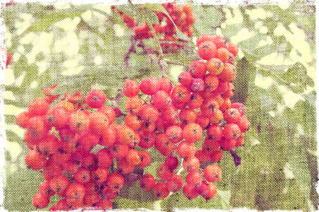 pit fall:  red ripe bunches of rowan isolated like fadric Stock Photo