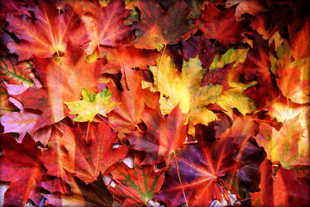 frondage: pattern autumn coloring leaves  maple