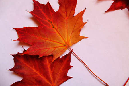 frondage: two red brightly maple leaves isolated on white